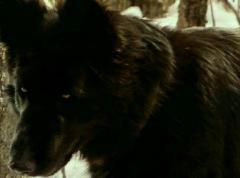 Глаз волка / Eye of the Wolf (1995) DVDRip